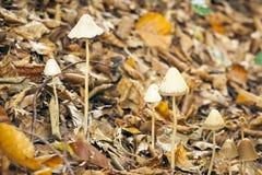 Mycena Mushroom Royalty Free Stock Photo