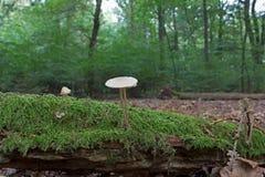 Mycena op stomp in het de herfstbos Stock Foto's