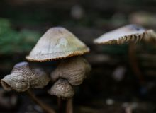 Mycena, poisonous fungi, small saprotrophic mushrooms on dead tree in forest royalty free stock photos
