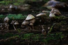Mycena, poisonous fungi, small saprotrophic mushrooms on dead tree in forest royalty free stock images