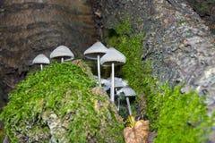 Mycena polygramma. Grooved bonnet (Mycena polygramma) mushroom in a forest Stock Image