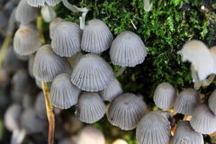 Mycena renati Stock Photography
