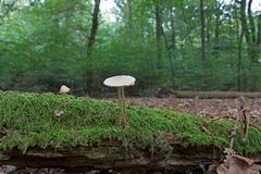 Mycena on stump in the autumn forest Stock Photos