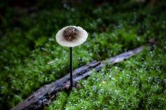 Mycetinis在生长在绿色moos的早晨光的alliaceus蘑菇 免版税库存图片