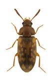 Mycetophagus multipunctatus Stock Image