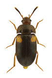 Mycetophagus quadripustulatus Royalty Free Stock Images