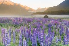 Mycket av den purpurfärgade lupineblomningen med bergbakgrund, Nya Zeeland arkivfoto