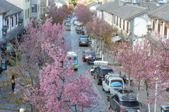 Mycket av körsbärsröda blomningar av den forntida staden av Dali royaltyfria foton
