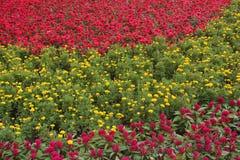 Mycket av röda och gula blommor i trädgården Arkivbild