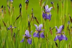 Mycket blå irisblomma på en solig dag för sommar i trädgården Arkivbild