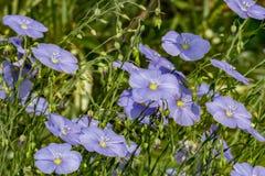 Mycket blå linneblomma på en solig dag för sommar i trädgården Arkivbilder