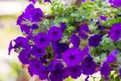 Mycket blå petunia royaltyfria bilder