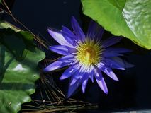 Mycket blommade blåa Lily Pad Royaltyfria Foton