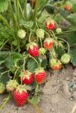 Mycket bra skörd av jordgubben Det mest smakliga och mest söta bäret Arkivfoto
