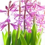 Mycket dekorativ malvafärgad hyacint Arkivbilder