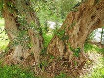Mycket gammal olivträd som växer i Grekland royaltyfri bild
