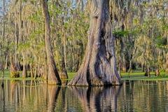 Mycket gammalt cypressträd i sjön Martin Louisiana Swamp arkivfoto