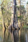 Mycket gammalt cypressträd i sjön Martin Louisiana Swamp Royaltyfri Bild