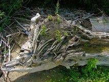 Mycket gammalt torrt träd fotografering för bildbyråer