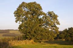 Mycket gammalt träd i ett mycket gammalt staket Royaltyfria Bilder