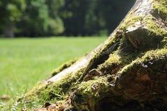 Mycket grön mossa som växer på trädet i parkera under Royaltyfri Bild