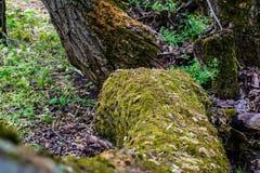 Mycket grön våt mossa på skället av trädet Stor skogmossa med små sidor, frö och kryp arkivbild