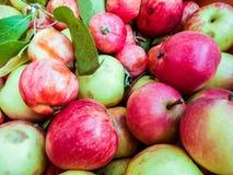 Mycket gröna röda organiska nya söta äpplen arkivbild