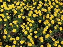 Mycket guling blommar på blomsterrabatten royaltyfri foto
