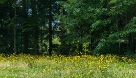 Mycket guling blommar på fältet framme av en skog Arkivbild