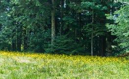 Mycket guling blommar på fältet framme av en skog Arkivbilder