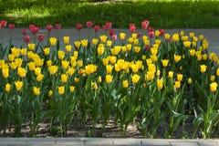 Mycket guling- och lilatulpan som är utomhus- i rabatten horisontalfotoformat Royaltyfri Foto