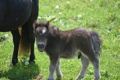 Mycket gullig fluffig svart miniatyrhäst i ett gräsfält Arkivbild