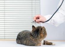 Mycket gullig grå katt i en veterinär- klinik fotografering för bildbyråer