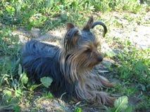 Mycket gullig hundYorkshire terrier mellan blommor Arkivfoton