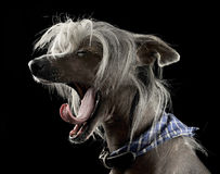 Mycket gullig kines krönade hunden som gäspar i svart bakgrund royaltyfri bild