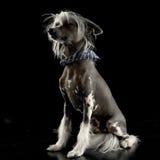 Mycket gullig kines krönade hundsammanträde i svart bakgrund royaltyfria foton