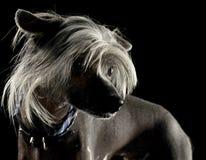 Mycket gullig kines krönade hundståenden i en svart bakgrund arkivfoton