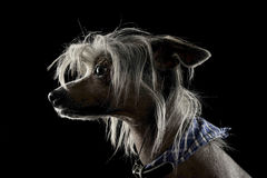 Mycket gullig kines krönade hundståenden i svart bakgrund royaltyfria bilder