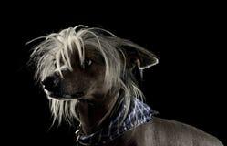 Mycket gullig kines krönade hundståenden i svart bakgrund arkivbild
