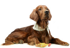 Mycket gullig kines krönade hundståenden i vit bakgrund fotografering för bildbyråer