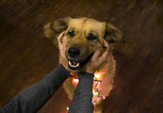 Mycket gullig le fluffig jul Dog bärande slå för girland och för händer Royaltyfri Fotografi