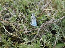 Mycket härlig blå fjäril arkivfoton