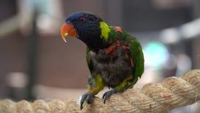Mycket härlig brokig papegoja Lori stock video
