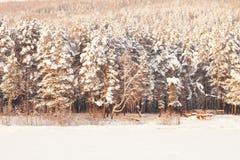 Mycket härlig snö-täckt skog på solnedgången Frostig vinterdag Royaltyfri Fotografi