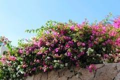 Mycket härliga rosa blommor på himmelbakgrunden arkivbild