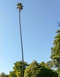 Mycket högväxt palmträd i Santa Barbara Royaltyfri Bild