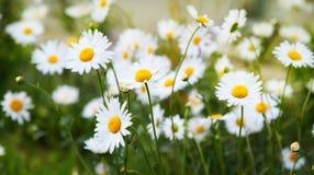 Mycket kamomill blommar på en äng Arkivbilder