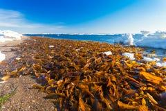 Mycket Laminariabrunalg är havsväxt som sköljas upp på stranden på stranden av havet av Okhotsk på vintersäsong Royaltyfria Bilder