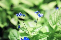 Mycket lilla blåttblommor Fotografering för Bildbyråer