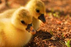 mycket lilla gulliga goslings Arkivfoton